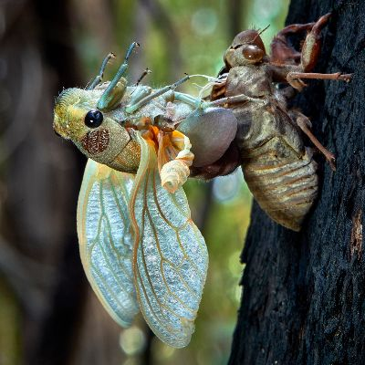 Cicada Emerging, English  Ian , Australia