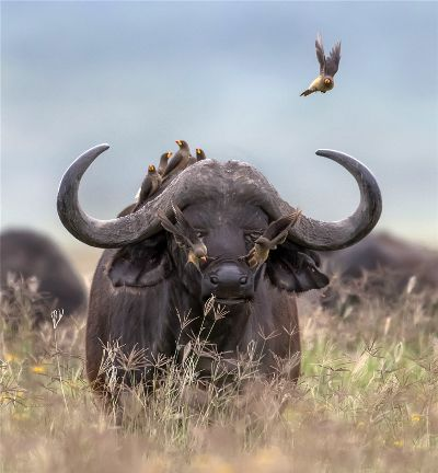Buffalo And Its Little Buddy, Li  Tingting , China