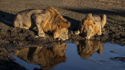 The Lion King Brothers Drinking Water, Li  Tingting , China