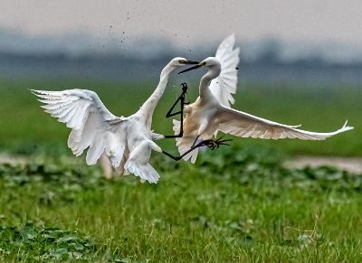 Fight Of Egrets, Banerjee  Abhijeet Kumar , India