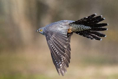 Cuckoo In Flight, Adcock  Terri , England