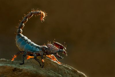 SCORPION, Hiremath  Shashidharswamy , India