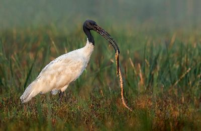 BLACK HEADED IBIS EATING SNAKE, Hiremath  Shashidharswamy , India