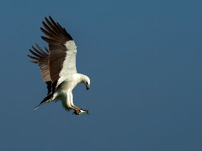 WHITE-BILLIED SEA-EAGLE WITH FISH, Hiremath  Shashidharswamy , India