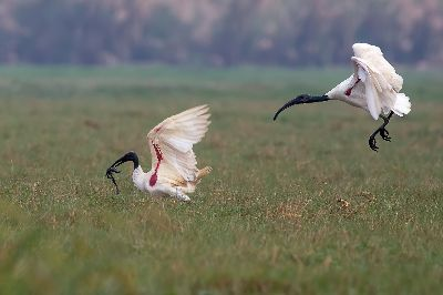 CHASING IBIS FOR PREY, Choudhury  Ratnajit , India