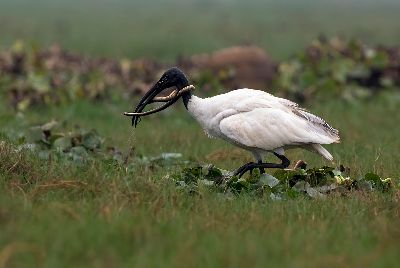 IBIS WITH KILL, Choudhury  Ratnajit , India