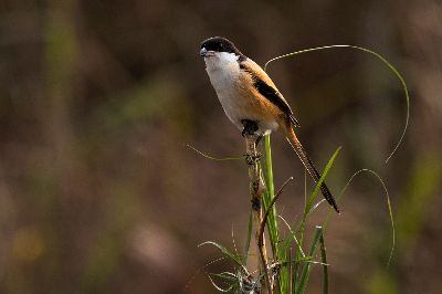 LONG TAILED SHRIKE, Choudhury  Ratnajit , India