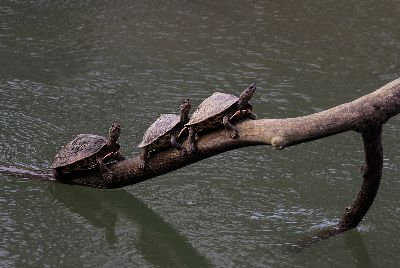 TURTLES, Choudhury  Ratnajit , India