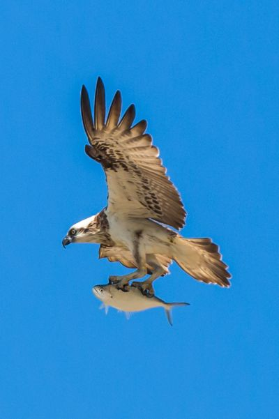 Osprey With Lunch, Parker  Brendon , Australia