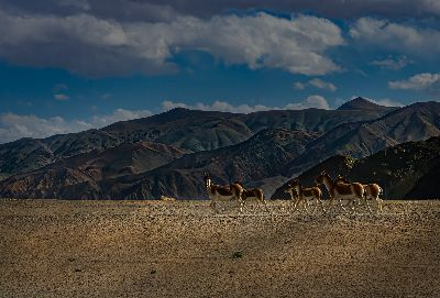 KIANG OF LADAKH, Sen  Debasis , India