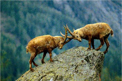 Lutte D Ibex, Bacle  Jean Claude , France