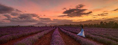 Lavender Beauty, Willis  Megan , Australia