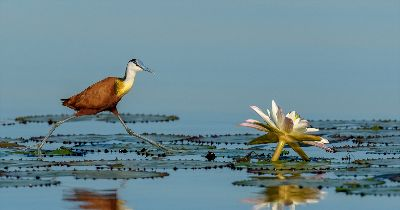 Jacana, Cholwich  Tania , South Africa