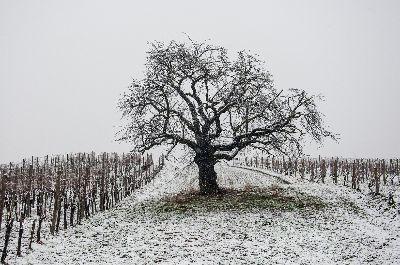 Tree In The Vineyard, Vidmar  Helena , Slovenia