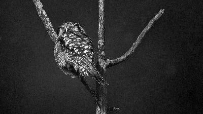 NORTHAN HAWK OWL 230, Dey  Taraknath , India
