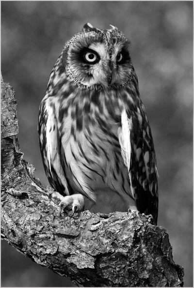 Alert Short-eared Owl, Kramer  Irene , Usa