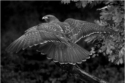Magnificent Fantail- Red-tailed Hawk, Kramer  Irene , Usa