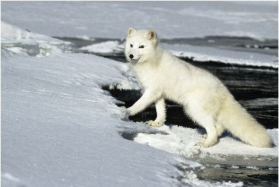 Watchful Arctic Fox, Kramer  Irene , Usa