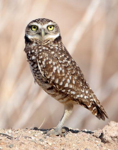 Burrowing Owl Posing, Pence  Christine Cope , Usa