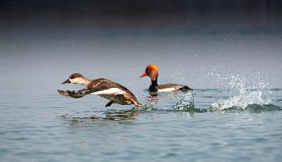 Red Crested Pochard Taking Off, Saha  Shuvashis , India
