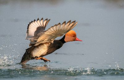 Red Crested Pochard Male Taking Off, Saha  Shuvashis , India