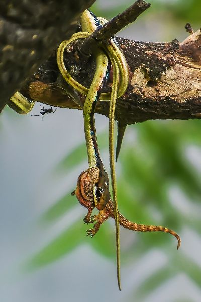 Bronzeback Snake With Catch, Paul  Nikhil , India