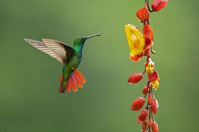Flapping Humming Bird, Holla K  Shantharam , India