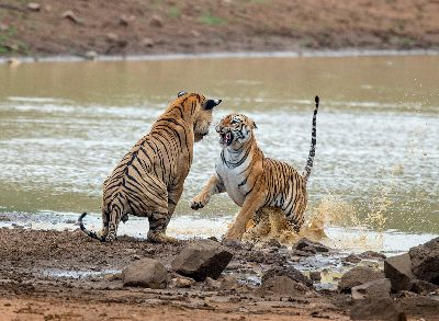 Playful Tigers, Holla K  Shantharam , India