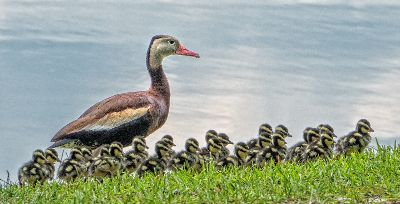 Whistling Ducks On Parade, Dimke  Sandy , Usa