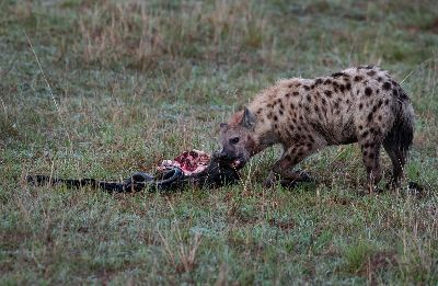 Hyena With Kill 04, Dutta  Chinmoy , India