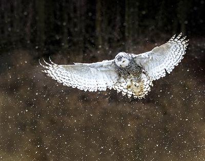 SnowOwl, Tran  Thuyphuong , Usa