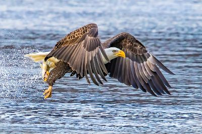 Eagle In Flight, Tran  Yen , Usa
