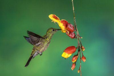 HUMMING BIRD SUCKING NECTAR, C.r.  Sathyanarayana , India