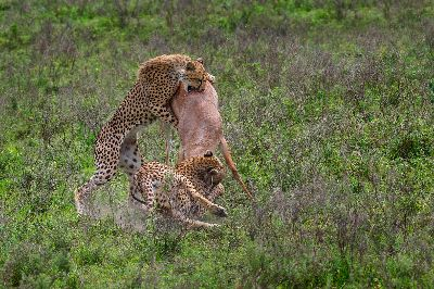 ATTACKING CHEETAHS, C.r.  Sathyanarayana , India