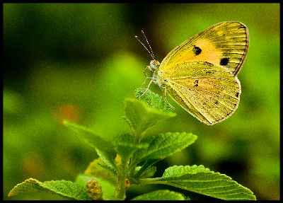 BUTTER FLY, Thombre  Deepak , India