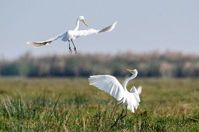 EGRETS FIGHTING 10, Dey  Pinku , India
