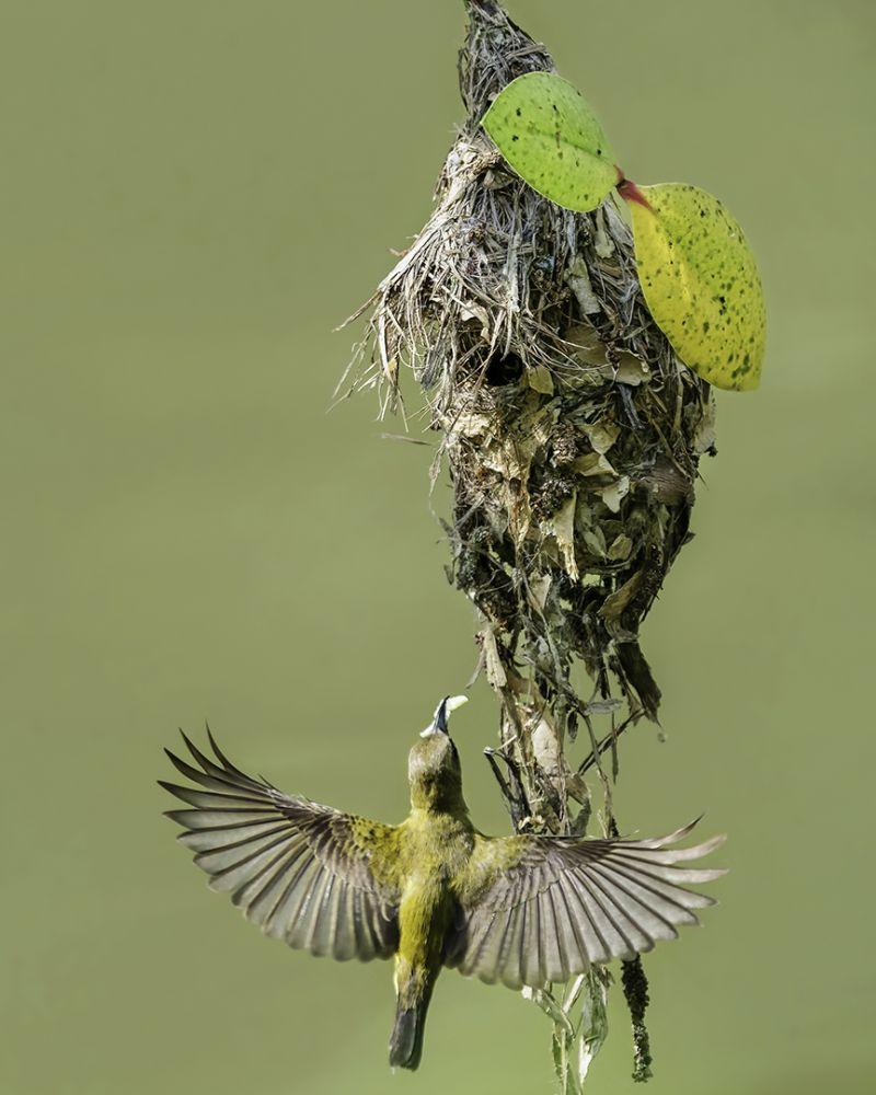 Olive Backed Sunbird Nest 4, Sint  Than , Singapore