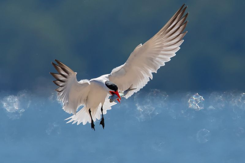 Tern On The Way Home 04, Luo  Robin , Canada