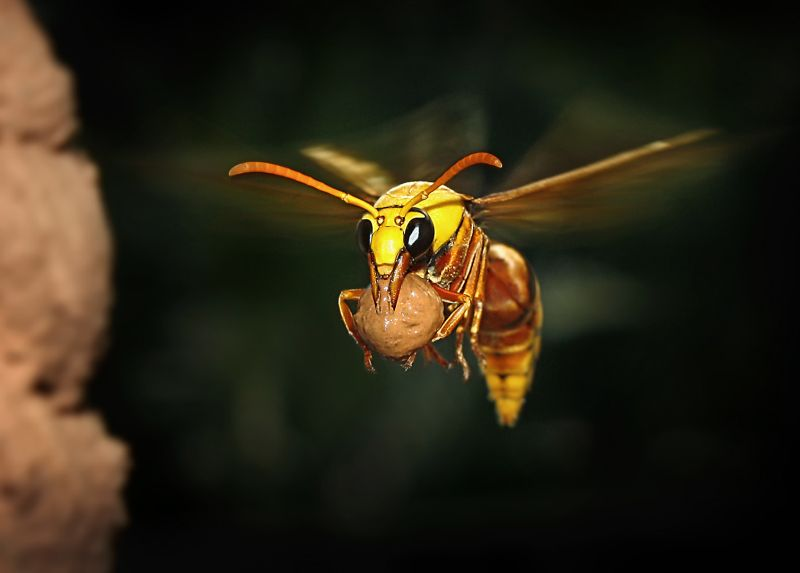 Yellow Wasp Nesting, Kumar  Ashok , India