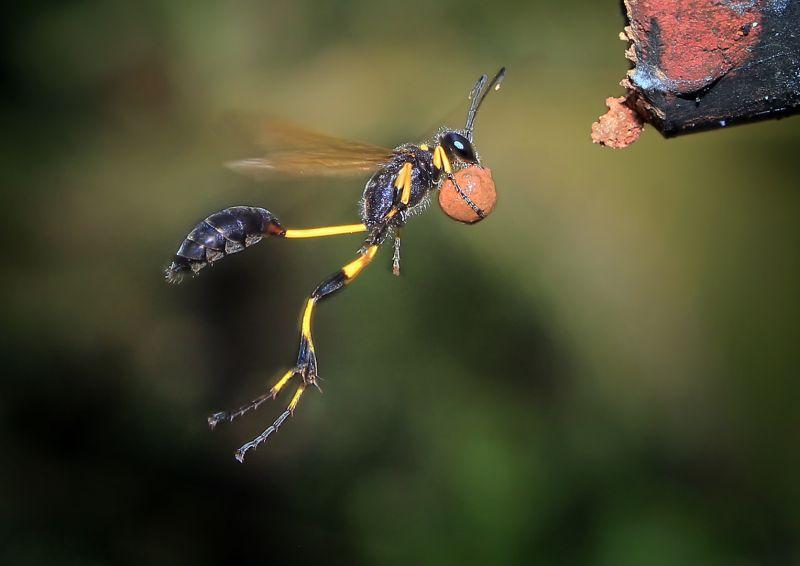 Wasp Building Nest, Kumar  Ashok , India