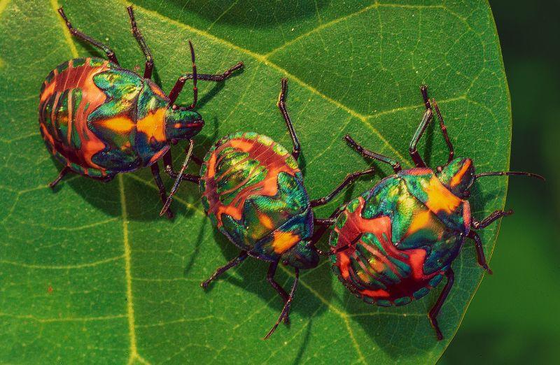 Three Harlequin Bugs, Stoffl  Bernd , Australia