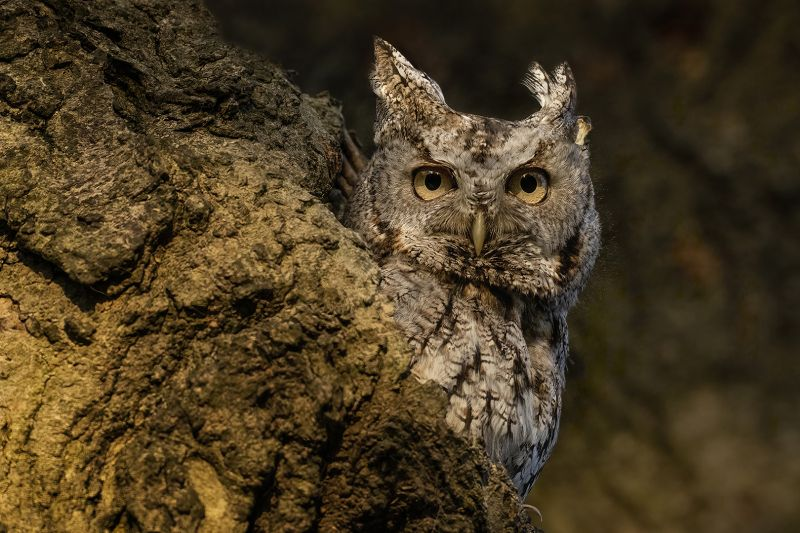 Eastern Screech Owl Staring, Chan  Tin Sang , Canada