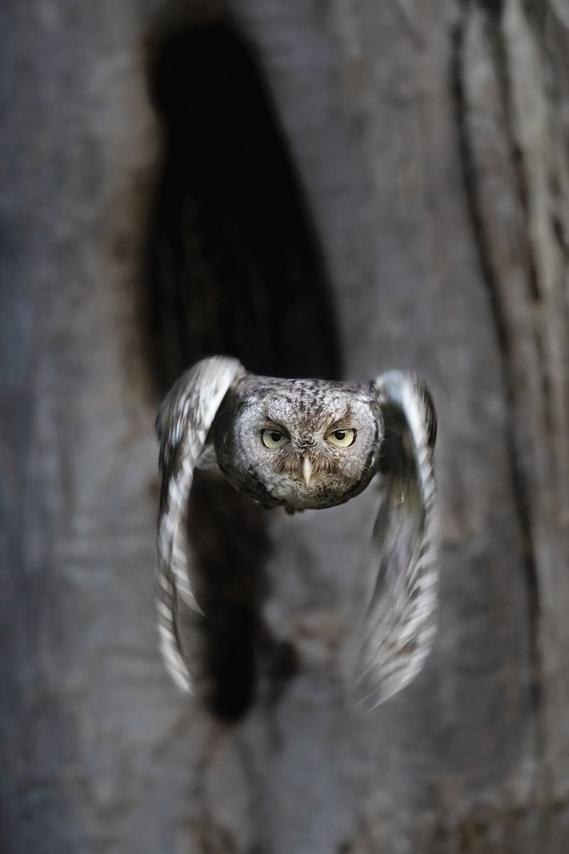 In Flight Easter Screech Owl, Chan  Tin Sang , Canada