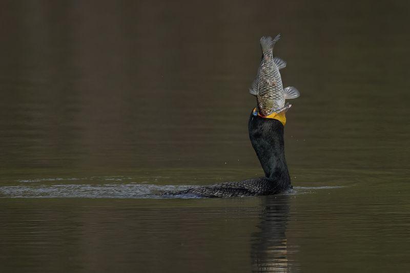 Cormorant Catch Fish, Chan  Tin Sang , Canada