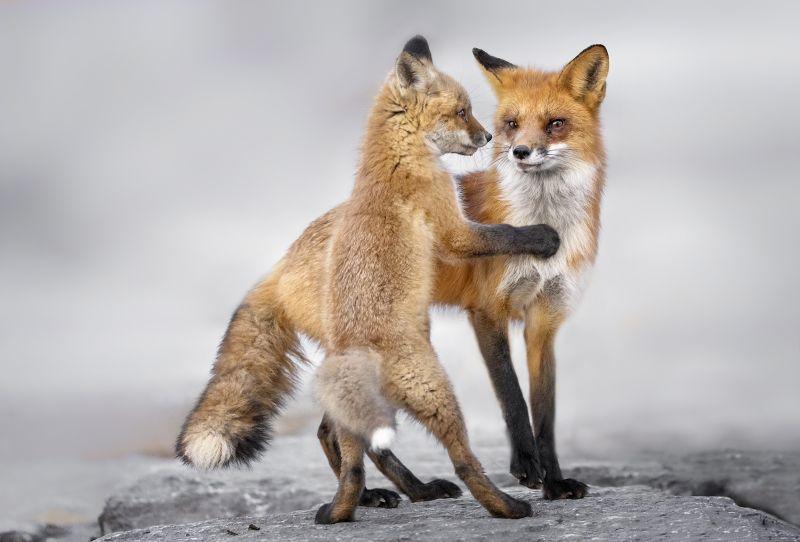 Kit And Red Fox, Chan  Tin Sang , Canada