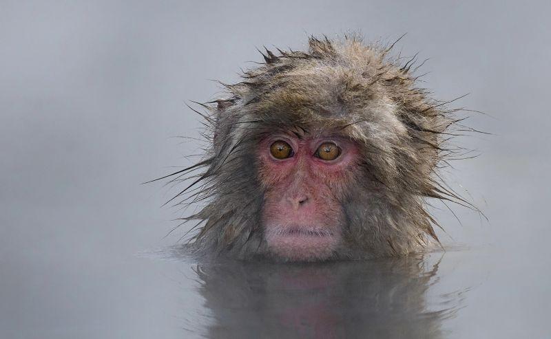 Japanese Macaque, Chan  Tin Sang , Canada