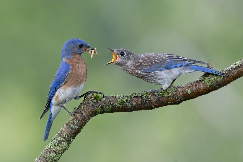 Eastern Blue Bird, Chan  Tin Sang , Canada
