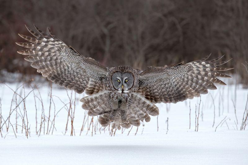 Great Gray Owl Landing, Chan  Tin Sang , Canada