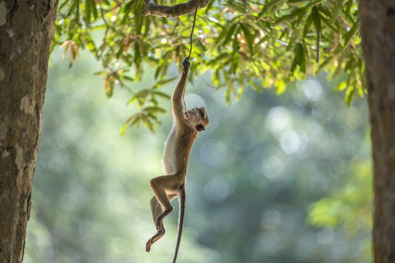 Sleeping While Swinging, Bandara  Pandula , Sri Lanka