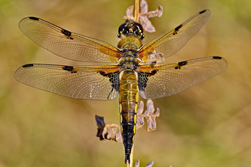 Dragonfly 6, Griepentrog  Hans-werner , Germany